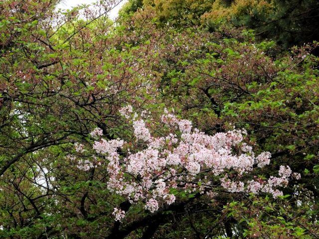 s0-170421桜DSC05029xx64.JPG