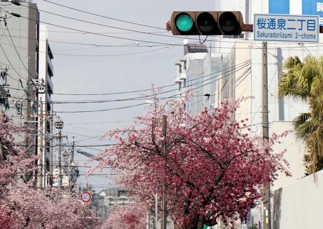 s1-桜通泉寒桜A6S01500xx64.jpg