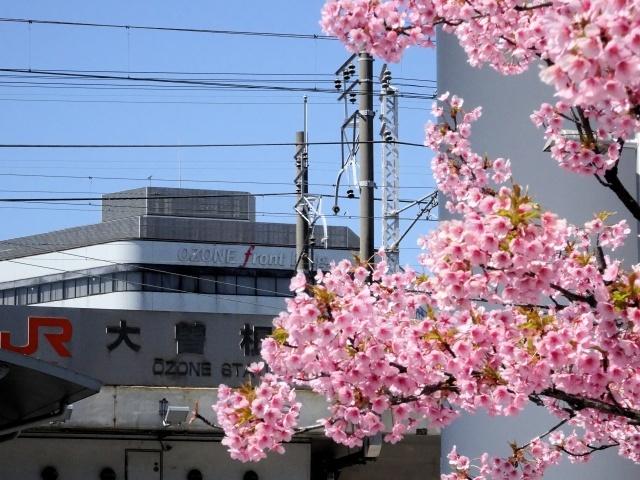 s1-河津桜SC02594xx64.jpg