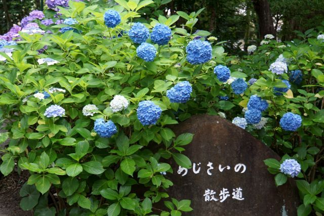 s2-鶴舞アジサイDSC07719xx64.JPG